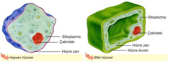 Hücre Görünümü